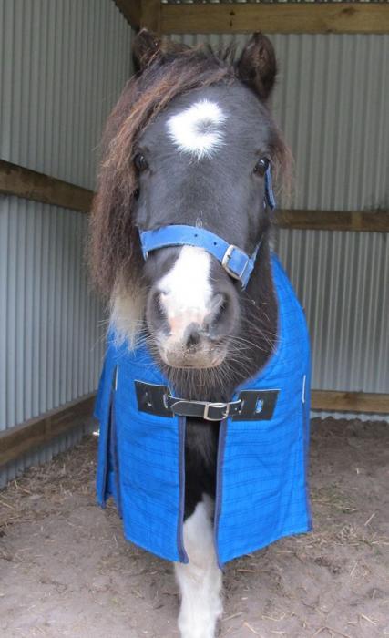Shetland Pony Gelding