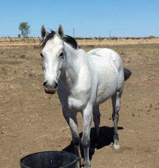 'Jasper Boom' Quarter Horse Gelding