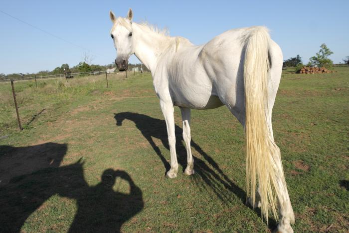 Tall Purebred Arabian Brood Mare