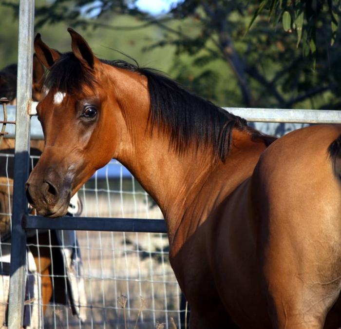 Purebred Arabian Bay Colt