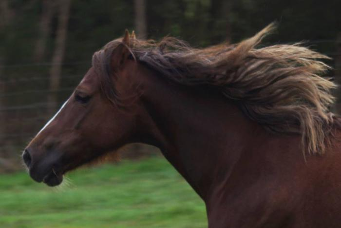 Welsh C mare
