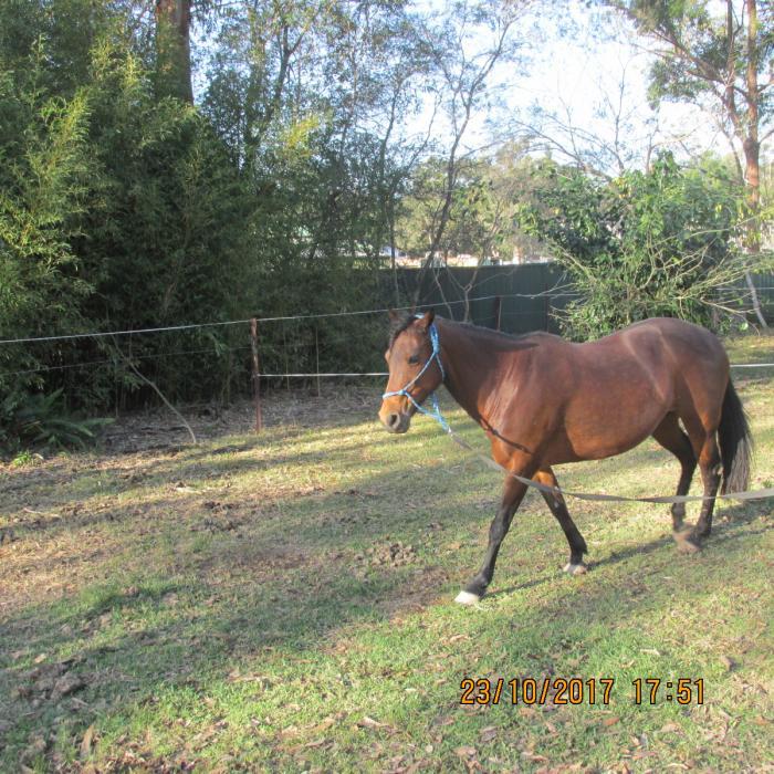 pretty 13.3hh bay mare