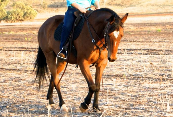 handsome young gelding with lovely movement