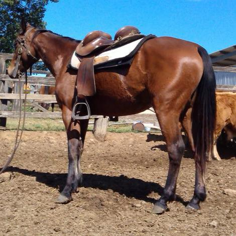 2yo Bay ash X QH Filly, Broken in and Going well