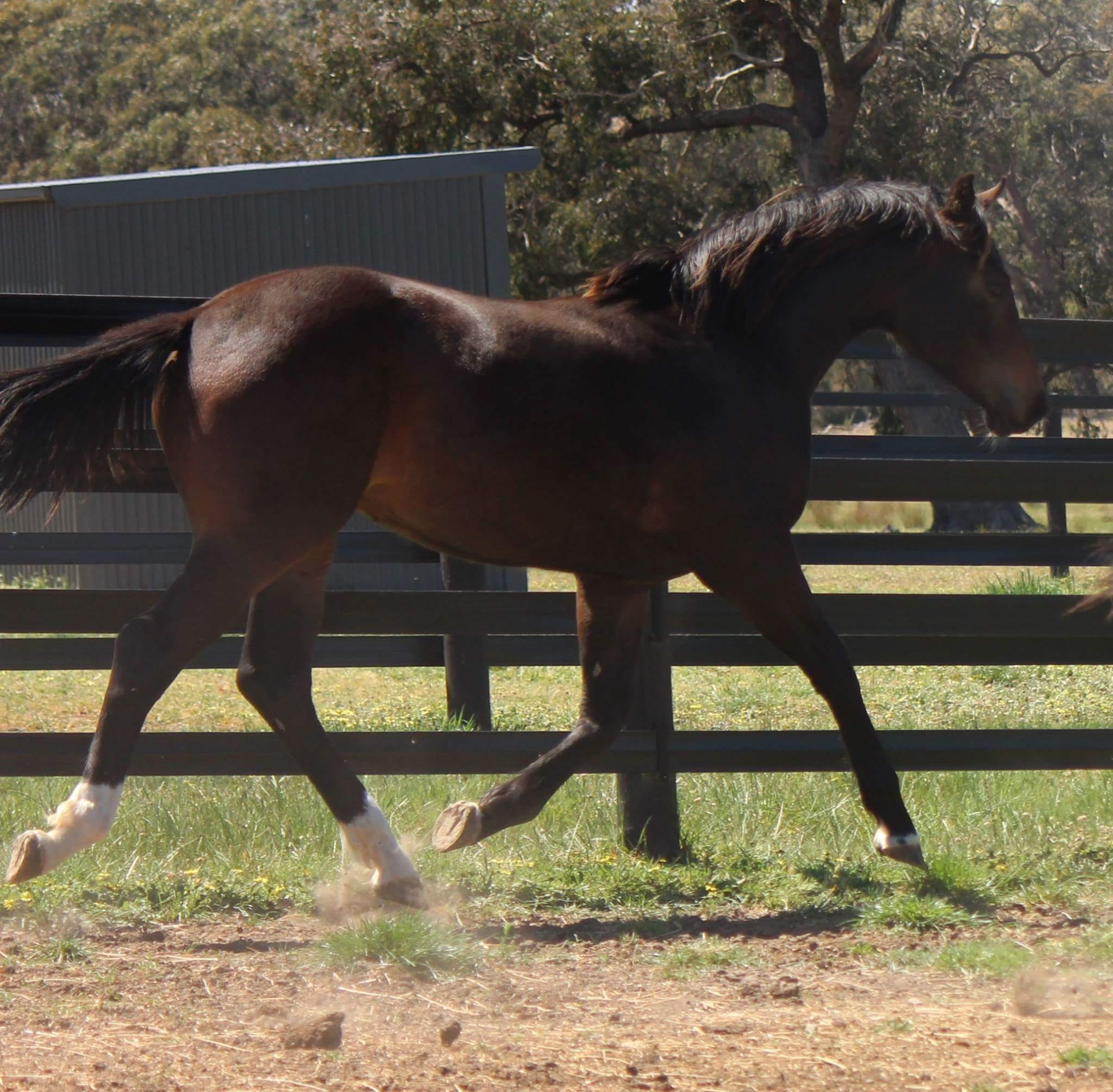 Fidertanz Weanling filly