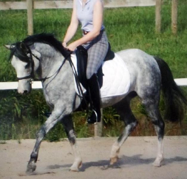 Dapple Grey Welsh x Stockhorse mare