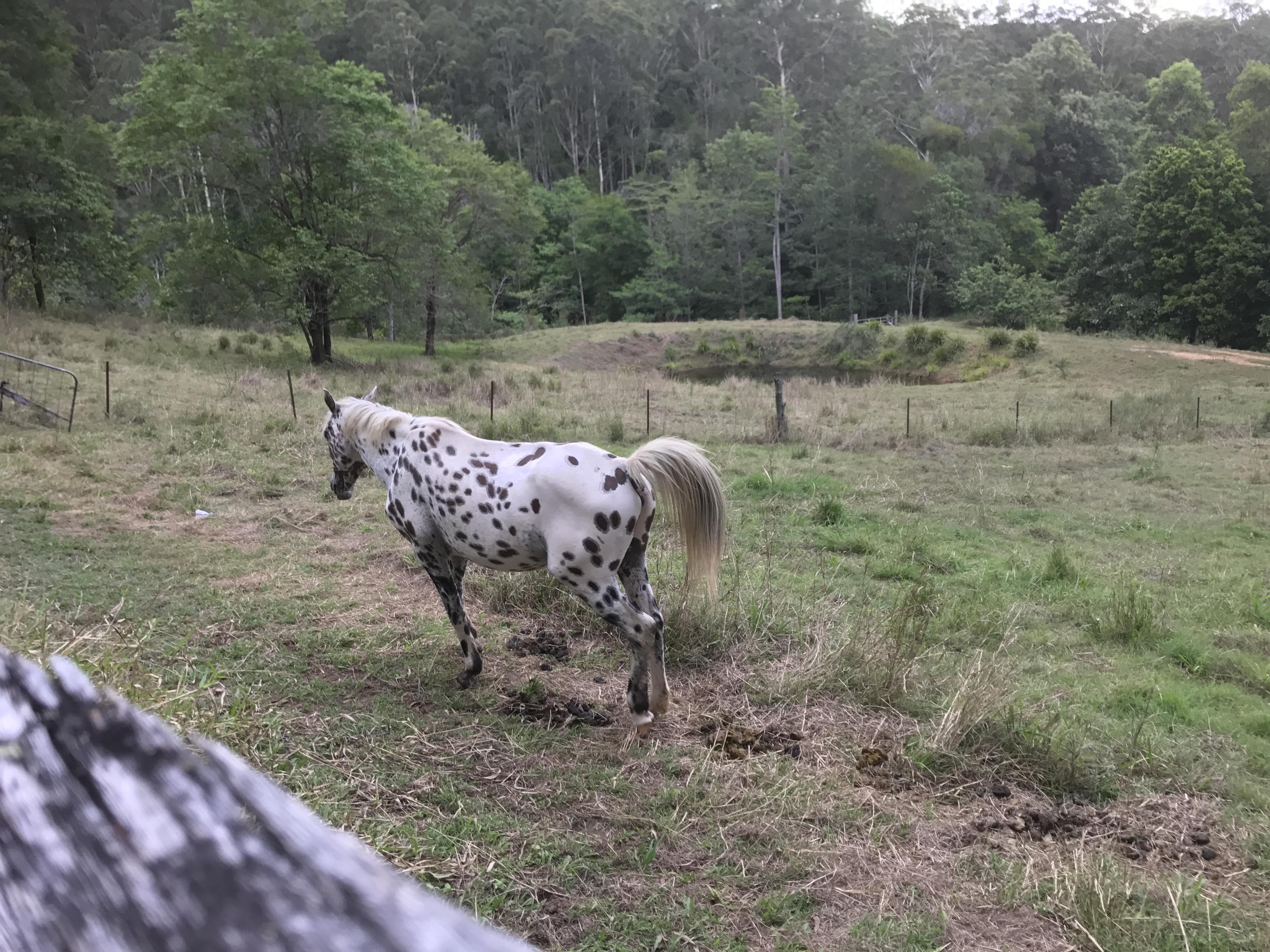 Leopard Appaloosa stallion