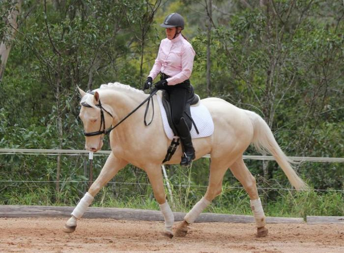 CREMELLO WARMBLOOD STALLION - 100% Colour Producer