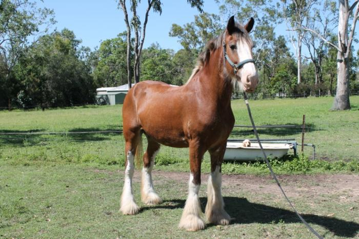 Stunning Registered Clydesdale Mare