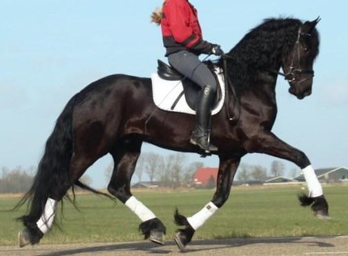 Bombproof Friesian Gelding Horse