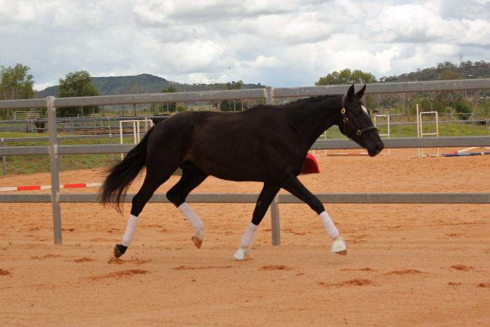 Stunning 4yo Dressage Mare in-foal to Belissimo