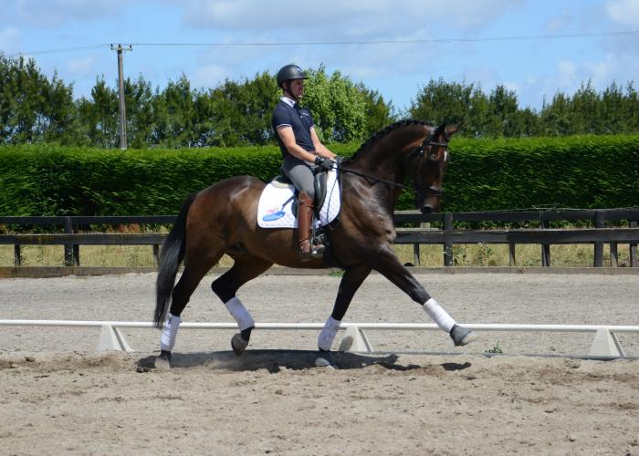 12yo Small tour gelding for sale