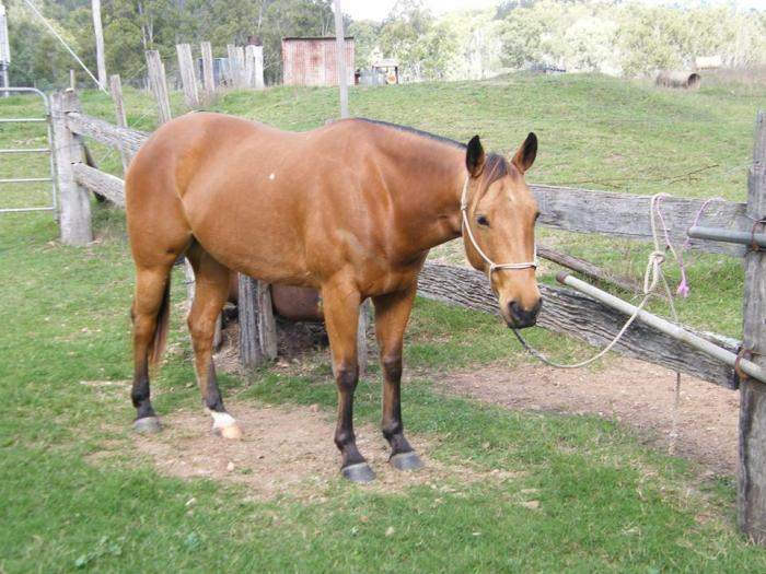Lovely Quiet AQH Mare 7 year old
