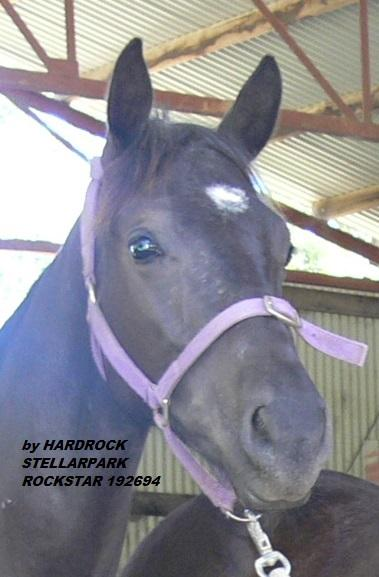 High Show Quality Yearling Gelding Stock Horse