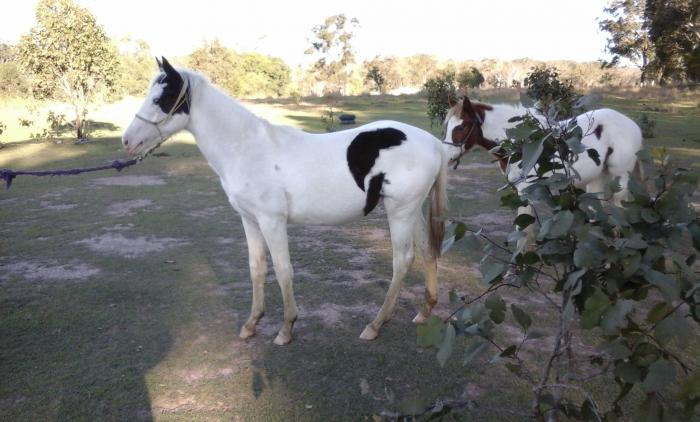 100% COLOUR PRODUCING TOBERO REG PAINT FILLY