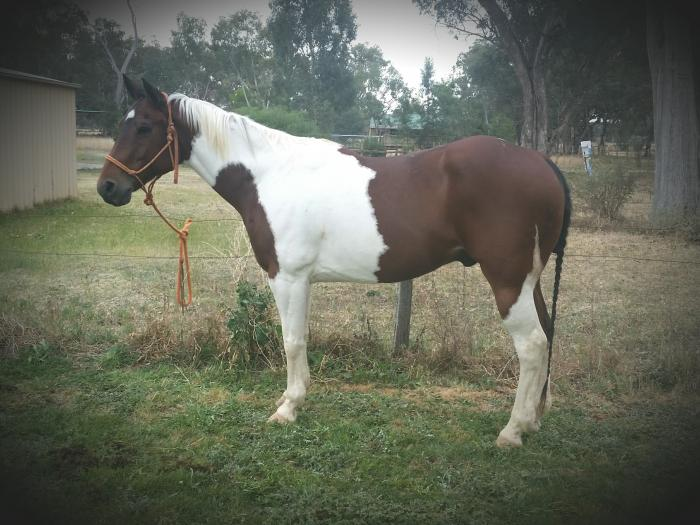 Allround Gelding QL Strait Tall Texan