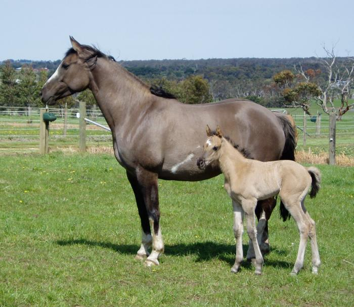 Lovely 2016 Phaa Colt/Geld.