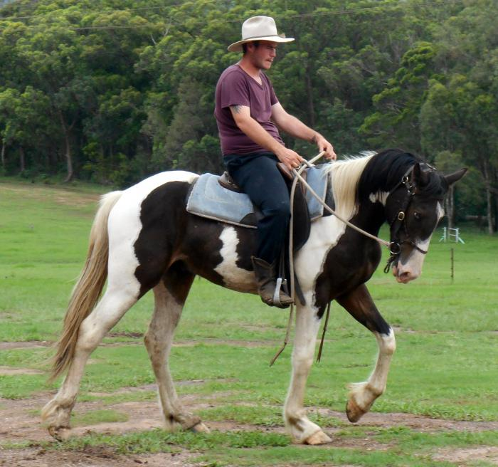 Clydey X Paint QH Gelding + VIDEO++