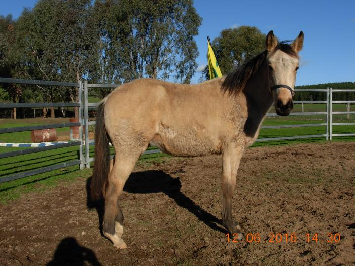 QH BUCKSKIN FILLY