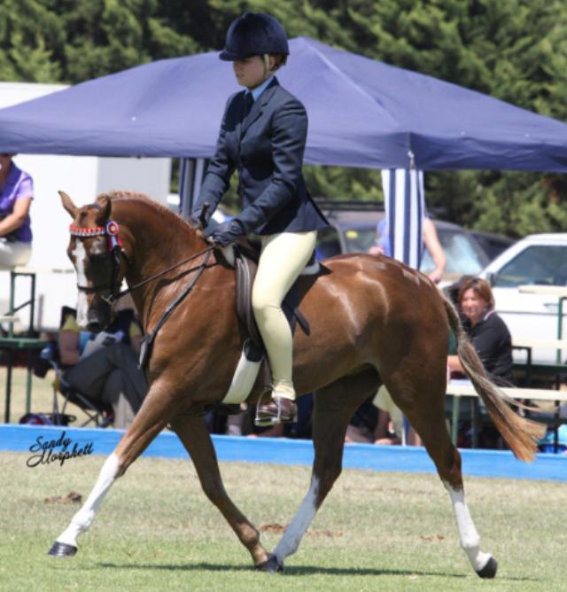 Riding Pony x part Welsh