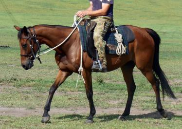 Talented all rounder gelding