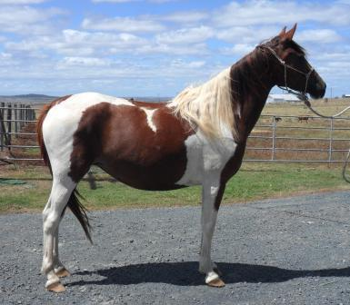 Part Arabian Tobiano Mare