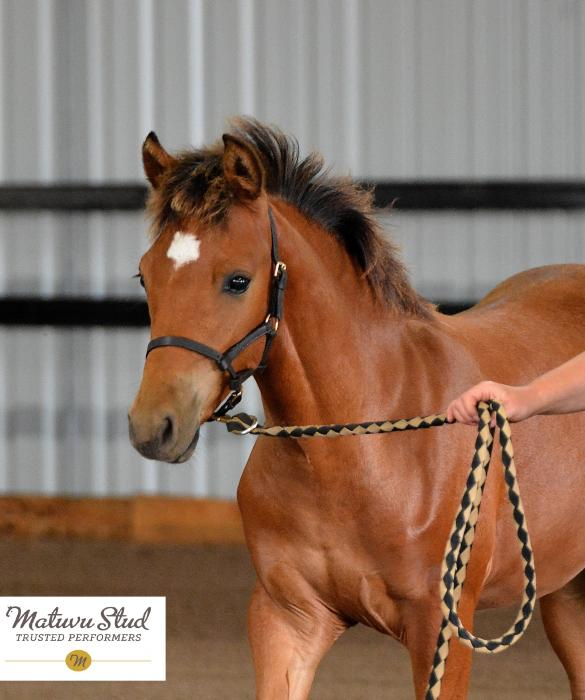 Beautiful Performance Pony gelding