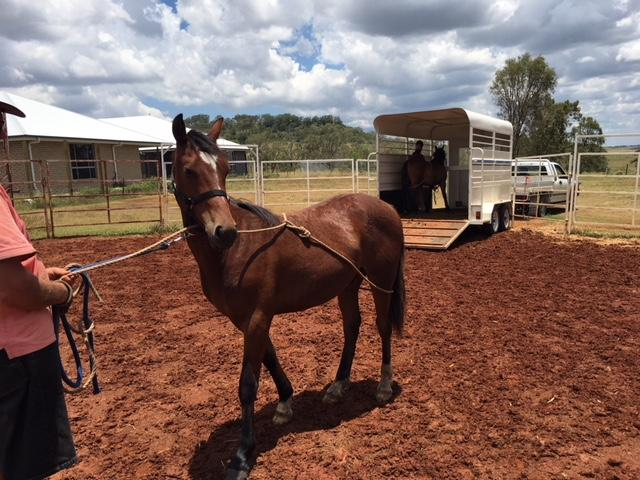 PART WELSH YEARLING COLT
