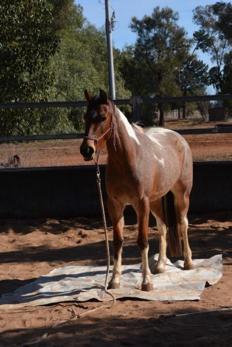 Athletic Pinto pony