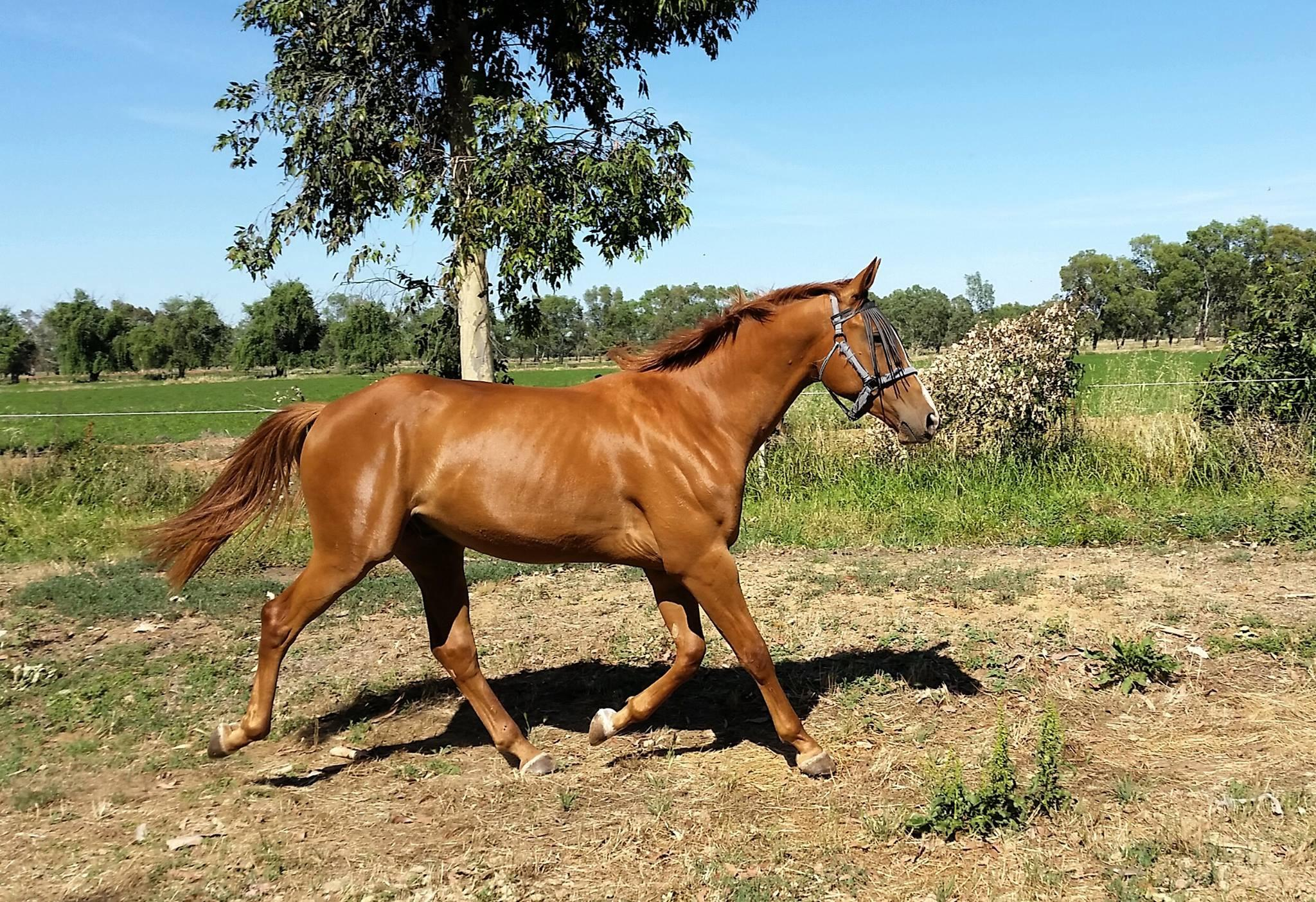 Friendly WB gelding