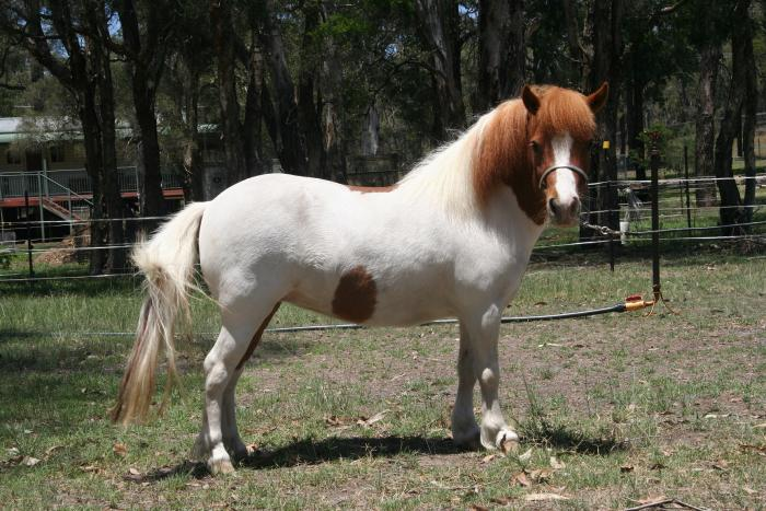 Georgous Chestnut Tobiano Small Horse Mare
