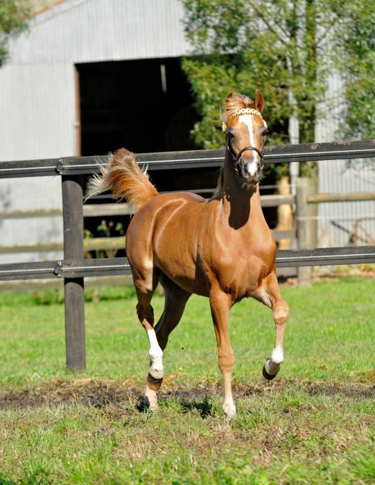 Arabian Pony/Part Welsh Yearling Filly
