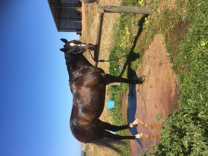 15.2 thoroughbred mare