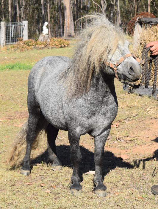 Breeding/Show Stallion