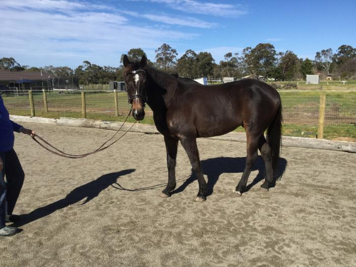 *Price Reduced* Lovely Brown TB Gelding