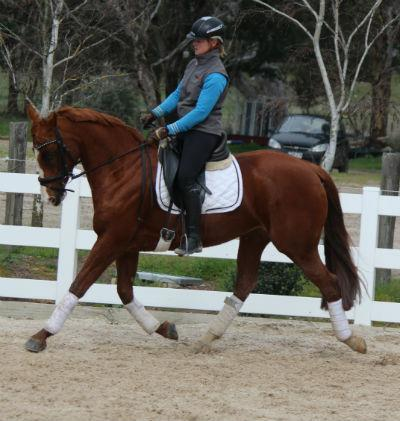 Super performance warmblood mare