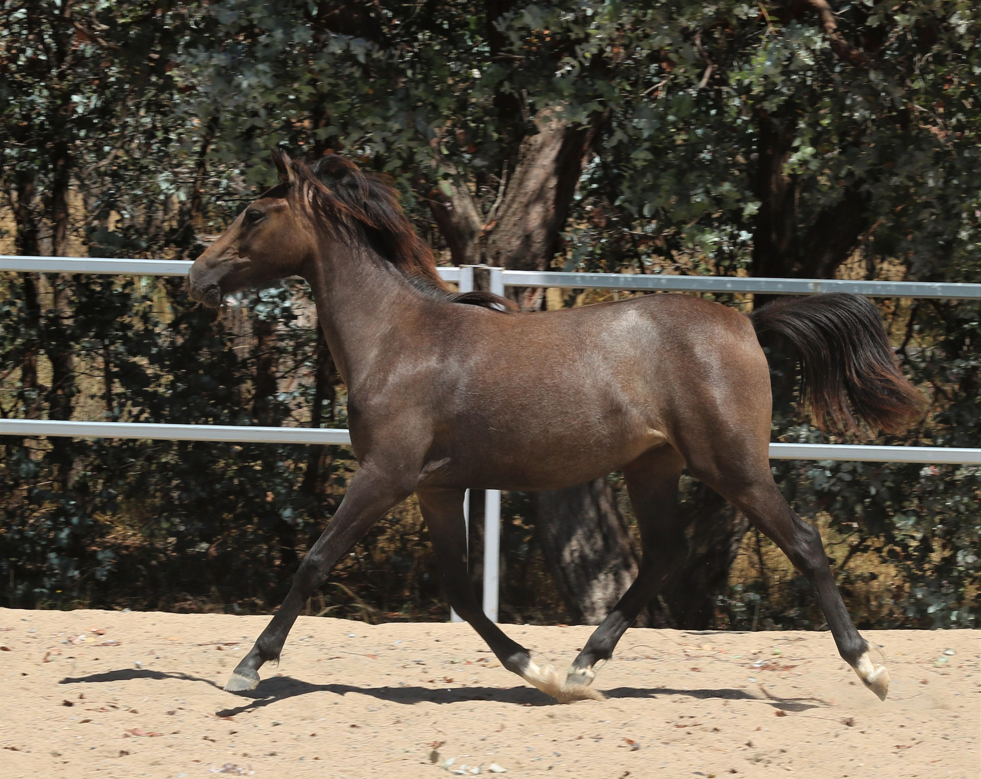 Allengreen Showcase filly - Newcomer prospect
