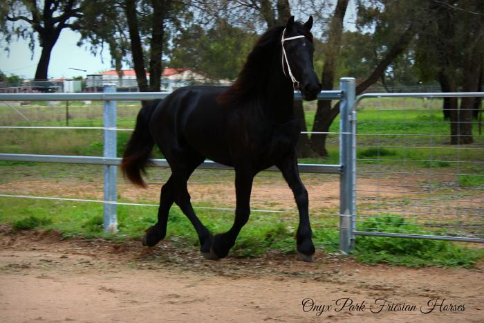Purebred Friesian Filly - Grand Prix Prospect