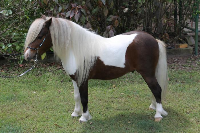 Miniature Horse Stallion