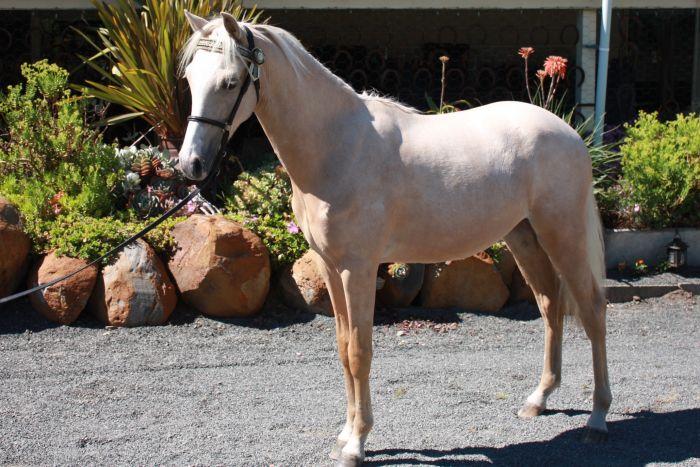 FOR SALE: Reg Aust Pony Palomino Colt