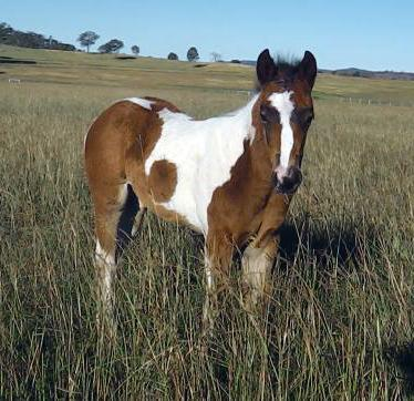 Paint X TB Tobiano Gelding, beautiful temperament
