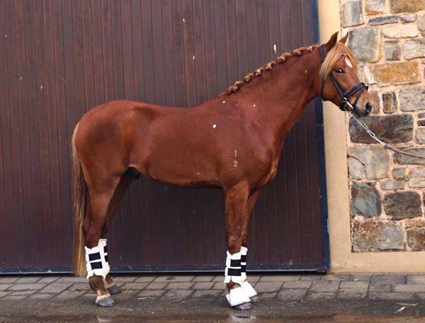 5yo German Riding Pony x by Golden Rock