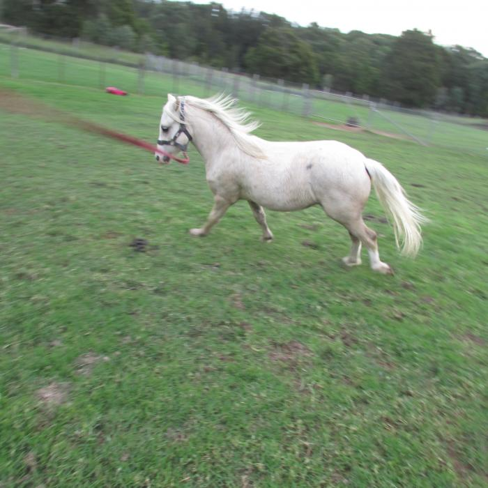 Pure bred Welsh A gelding Palomino