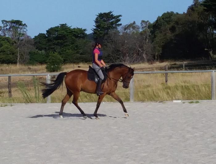 Arabian Riding Pony