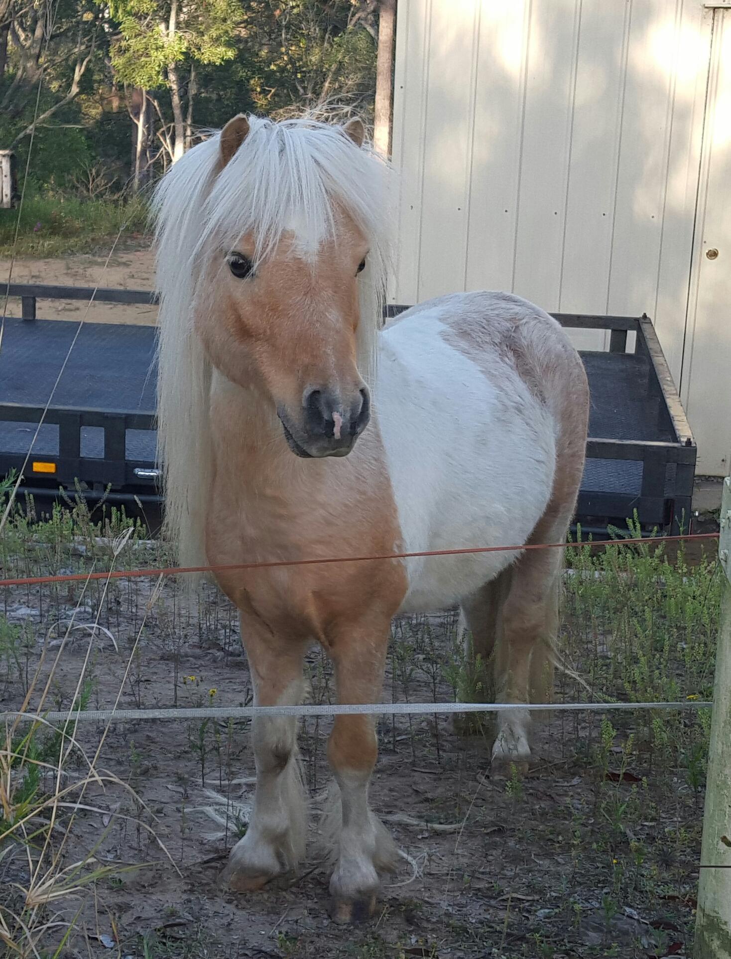 Pixie Valley Golden Dream - Palomimo Pinto Stallion