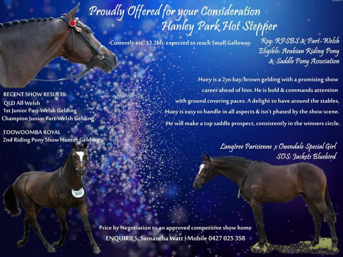 Exceptional Saddle Horse Prospect