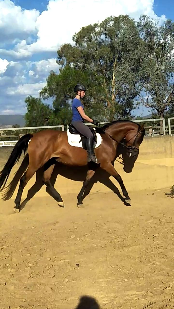 Pretty Warmblood mare