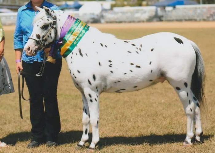 Quality Palouse Pony Gelding