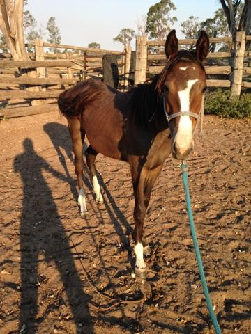 Cheeky - 1Yr Old Bay Gelding