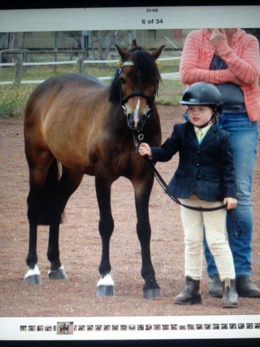 Welsh pony gelding 11.3 hh